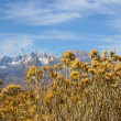 Rabbitbrush in fall — Stock Photo #7313879