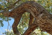 Ancient cottonwood tree in fall — Stock Photo