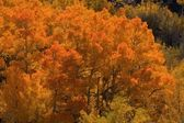 Fall color in the aspens — Stock Photo