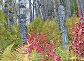 Birch forest in fall — Stockfoto