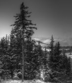 View with spruce trees in black and white — Foto Stock