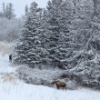 Stock Photo: Three moose near spruce