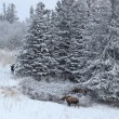 Постер, плакат: Three moose near the spruce