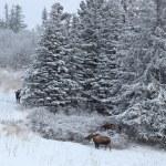 Three moose near the spruce — Stock Photo