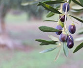 Olive on the tree — Stock Photo