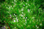 Hail after storm on grass — Stock Photo