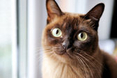 A closeup portrait of young burmese cat — Stock Photo