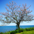 A lone blooming tree on ocean shore — Stock Photo