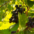 Stock Photo: Ripe black grapes on branch