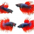 Stock Photo: Fighting fish