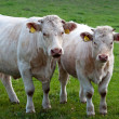 Cows in Nature — Stock Photo #7399275
