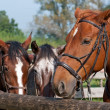 Beautiful Horses — Stock Photo #7399288