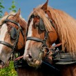 Stock Photo: Beautiful Horses