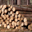 Felled Pine Trees — Stockfoto
