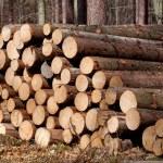 los pinos derribados — Foto de Stock