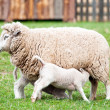 Ewe and Lambs - Stock Photo