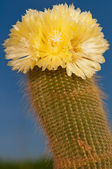 Cactus in Bloom — Stock Photo