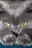 Gato azul británico de pelo corto — Foto de Stock