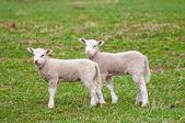 Cute Lambs — Stock Photo