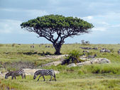 Zebras in Africa — Stock Photo