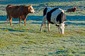 Cows on a Field — Stock Photo