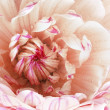 Stock Photo: Beautiful pink flower