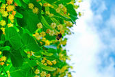 Bumblebee on colours of a linden — Stock Photo
