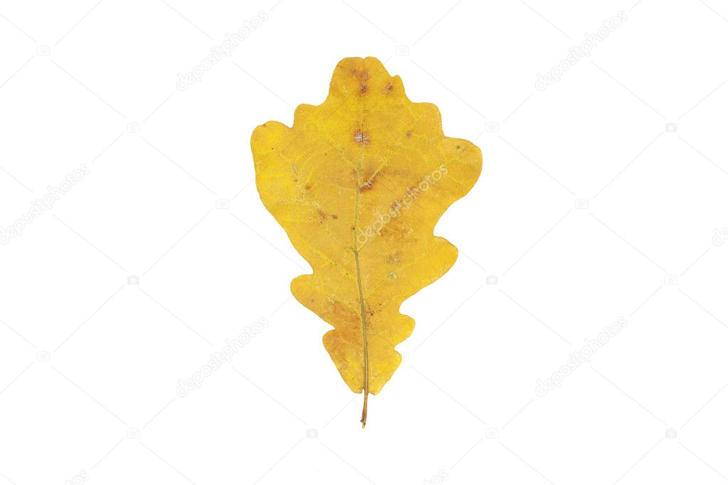 Isolated beautiful autumn yellow oak leaf in October — Stock Photo #6965283
