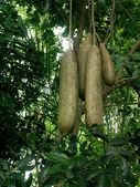 Saucisse arbres fruitiers — Photo