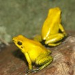 Golden poison frog — Stock Photo #7766815
