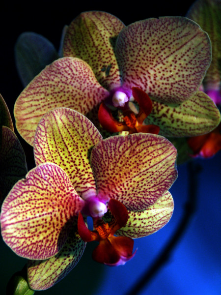 Orchidée — Photo