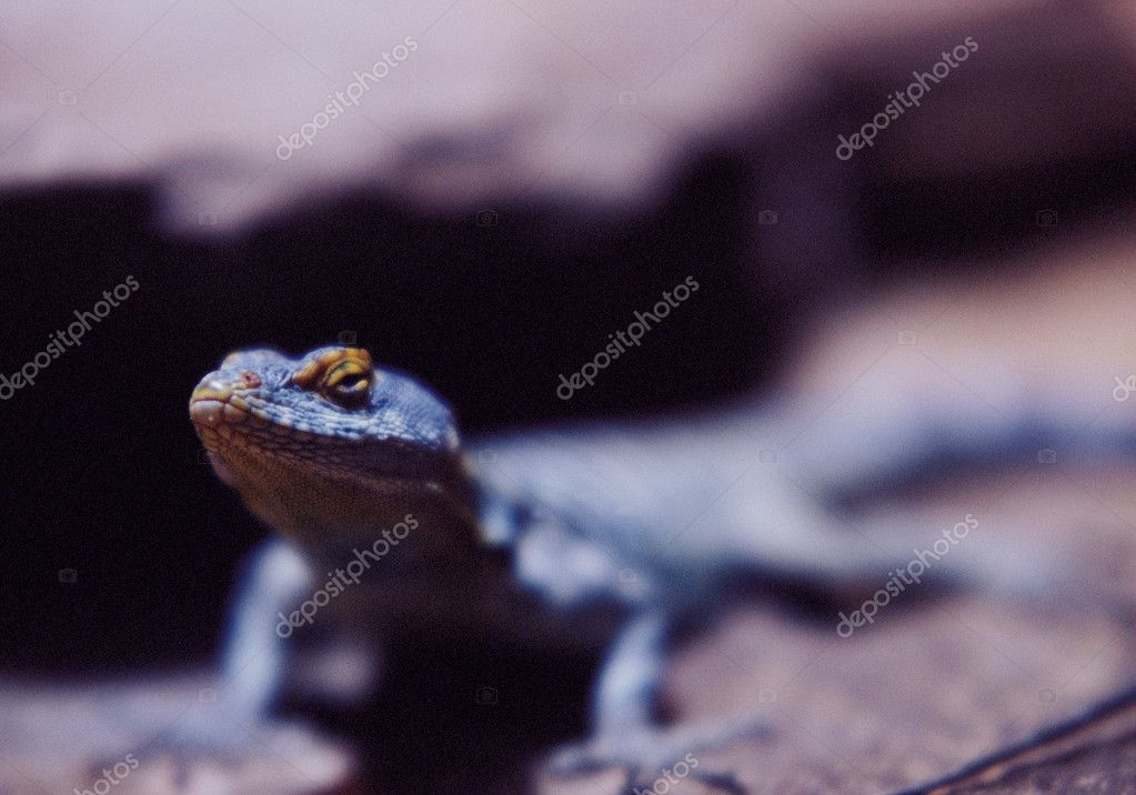 Lizard — Stock Photo #7029216
