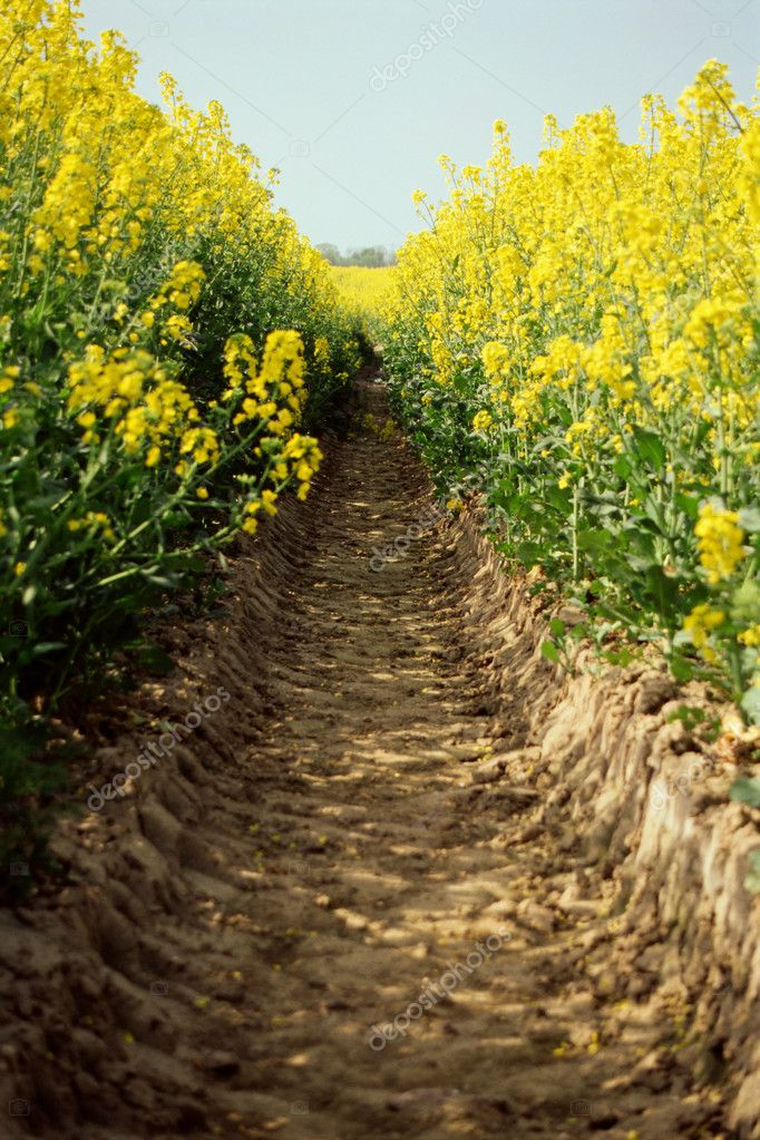 A furrow in a field of oilseed rape  Stock Photo #7054275