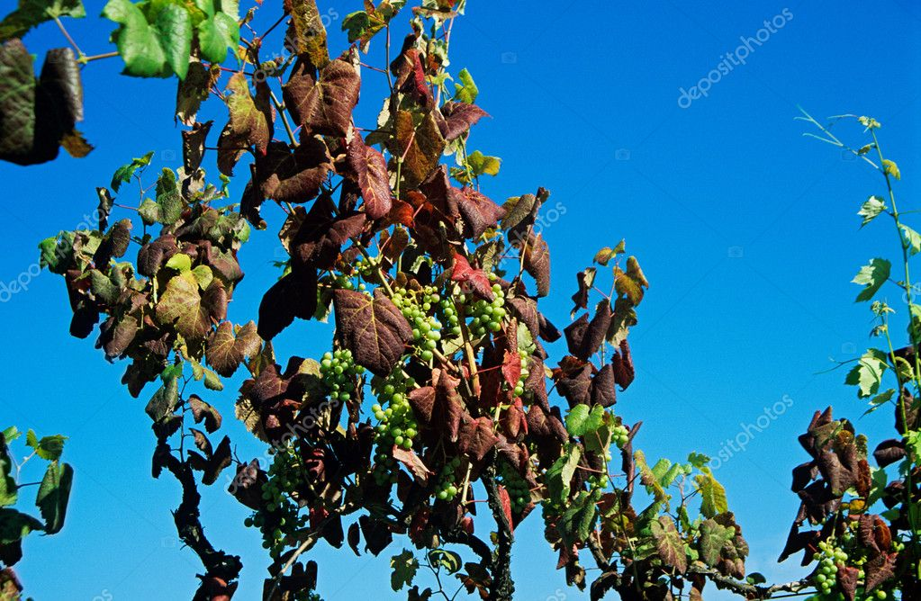 Grapes growing on vines — Stock Photo #7081009