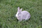 Rabbit with blue eyes — Stock Photo