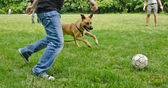 Dog playing football with some guys — Stok fotoğraf