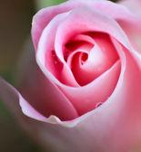 Pink Swirl — Stock Photo