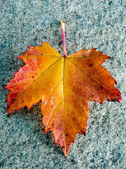 A single red maple leaf — Stock Photo