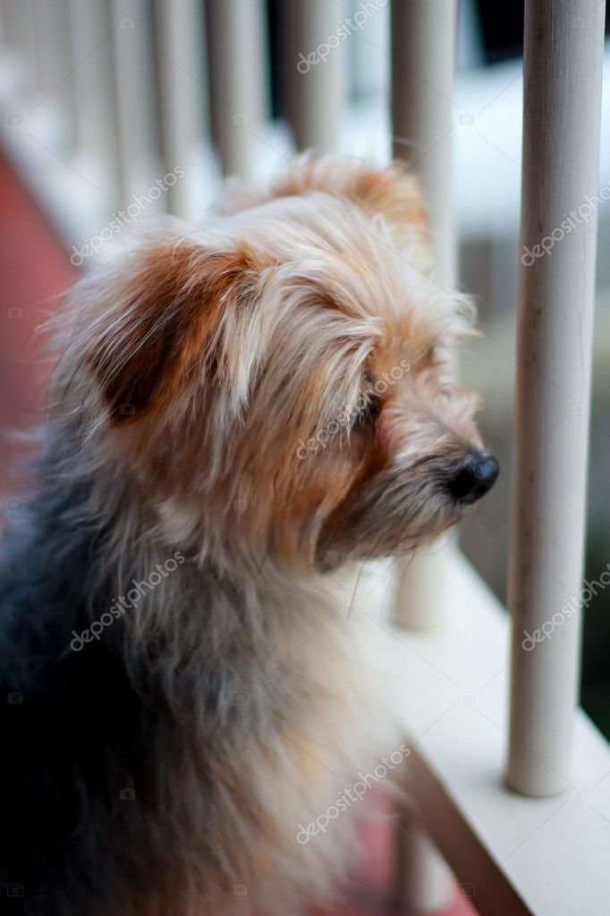 Otis the Australian Silky Terrier — Stock Photo #7835130