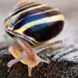 Crawling Snail — Stock Photo