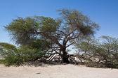 Tree of life Bahrain — Stock Photo
