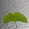 Green ginkgo leaf - Stock Photo