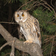 Stock Photo: Long-eared owl