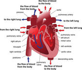 Human heart cross section. Poster — Vettoriale Stock