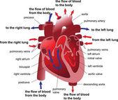 Human heart cross section. Poster — Stock Vector