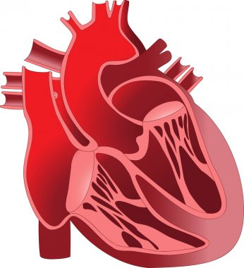 The device is the human heart. Section