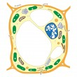 Royalty-Free Stock Vector Image: Plant cell