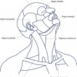 Royalty-Free Stock Vector Image: The areas of the human head and neck