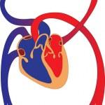Human circulatory system — Stock Vector