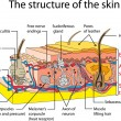 Royalty-Free Stock Imagem Vetorial: Skin cross section